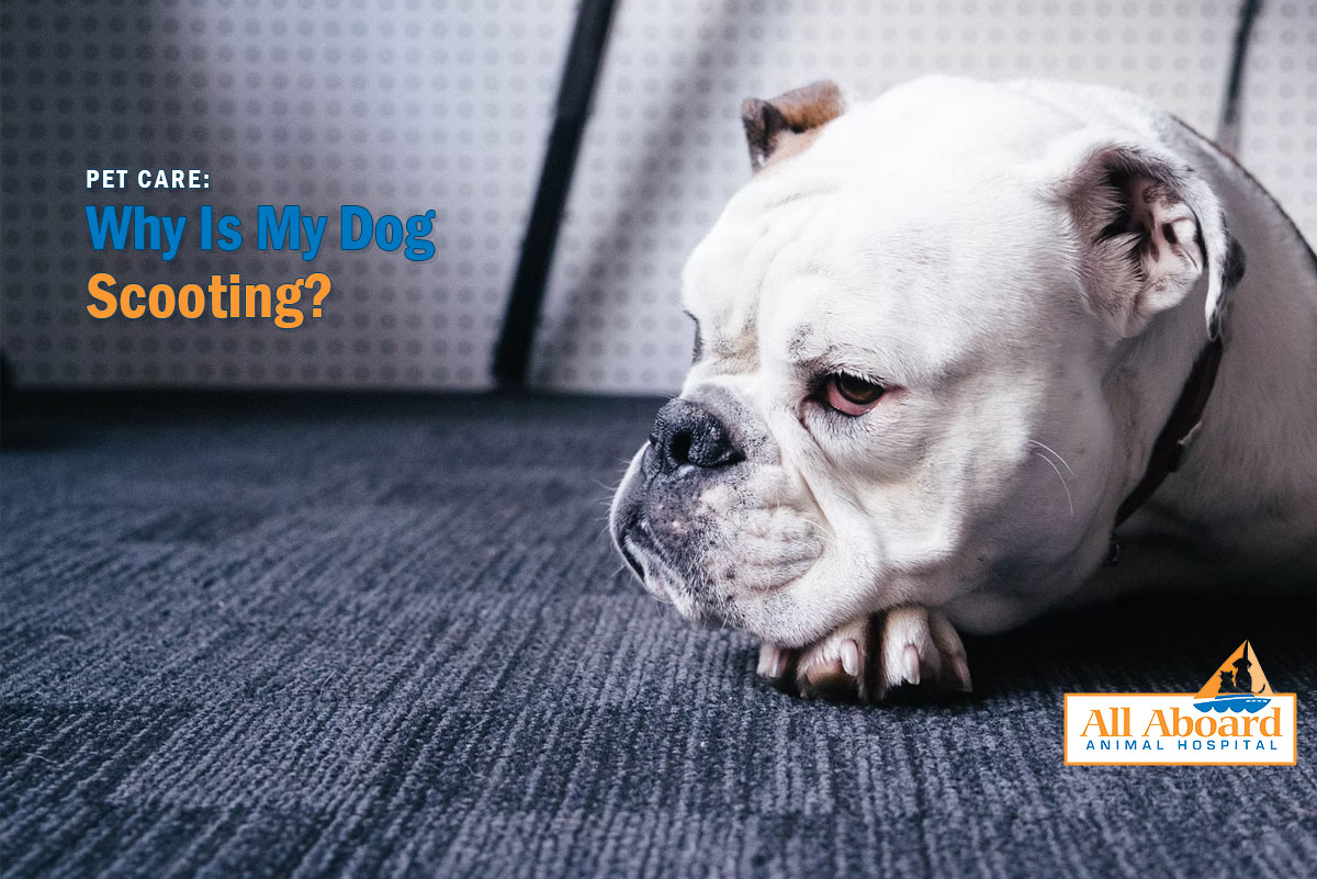 pet care: why is my dog scooting
